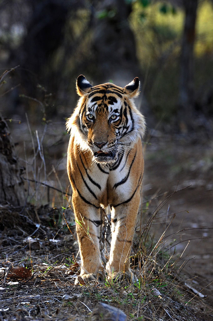 Tiger in Ranthambhore