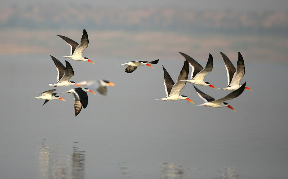 Indian Skimmer Chambal