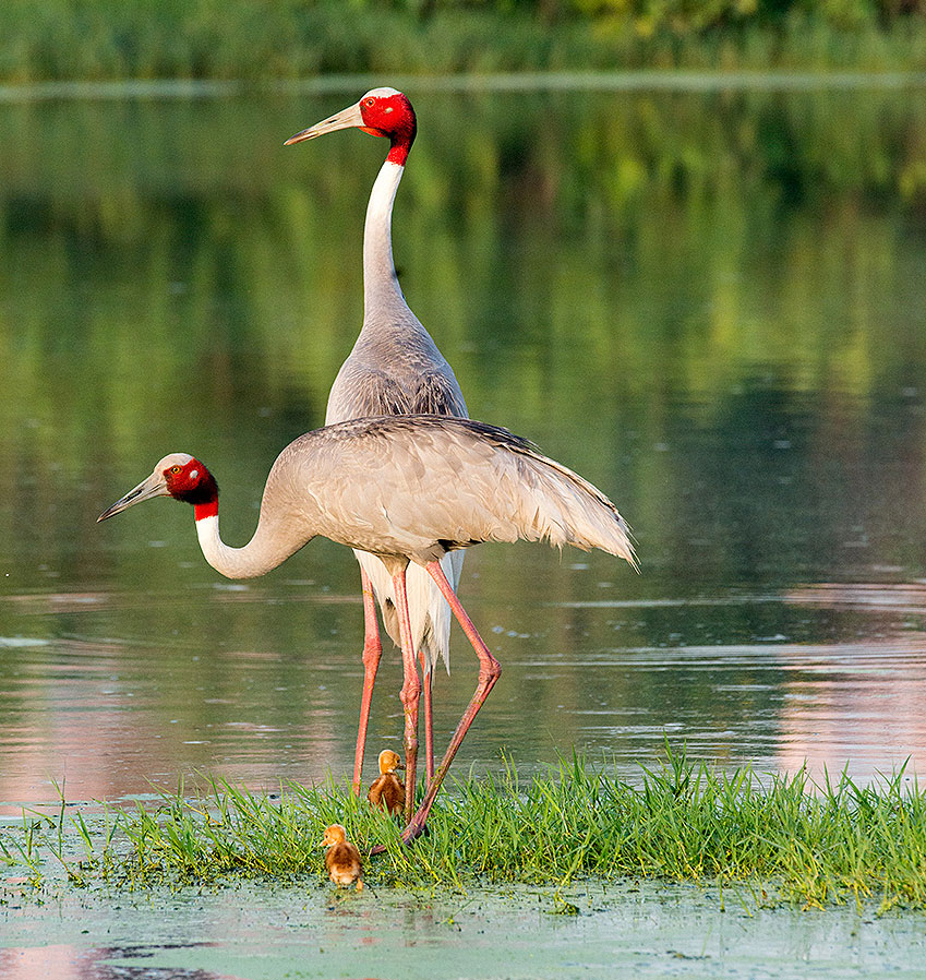 Sarus Crane pair with chick