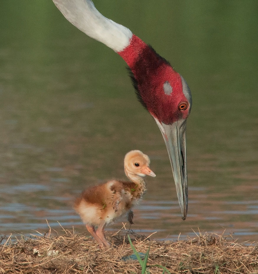 Sarus Crane chick