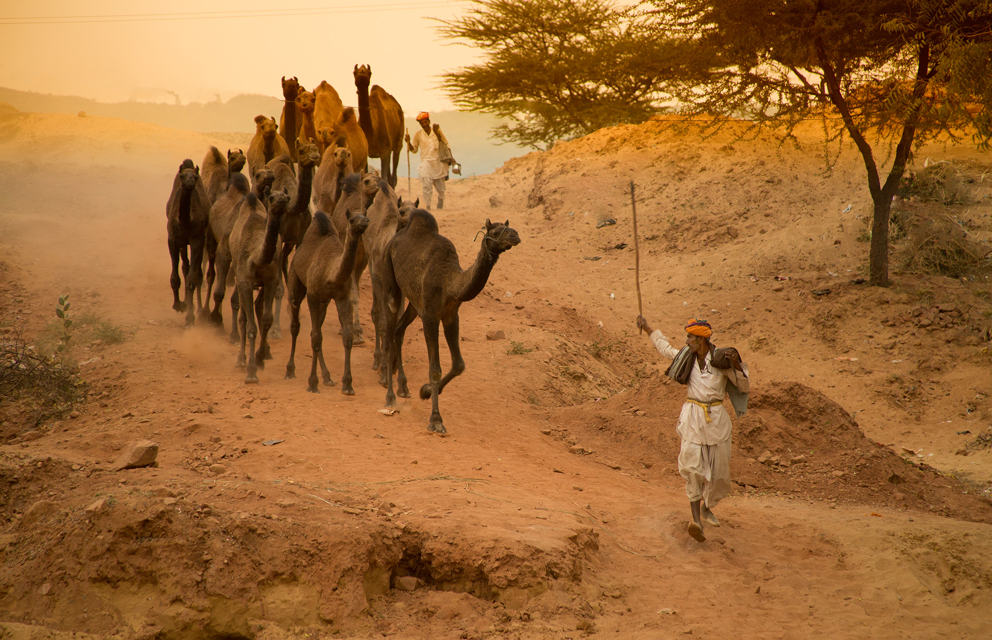 Camel Herder in Pushkar