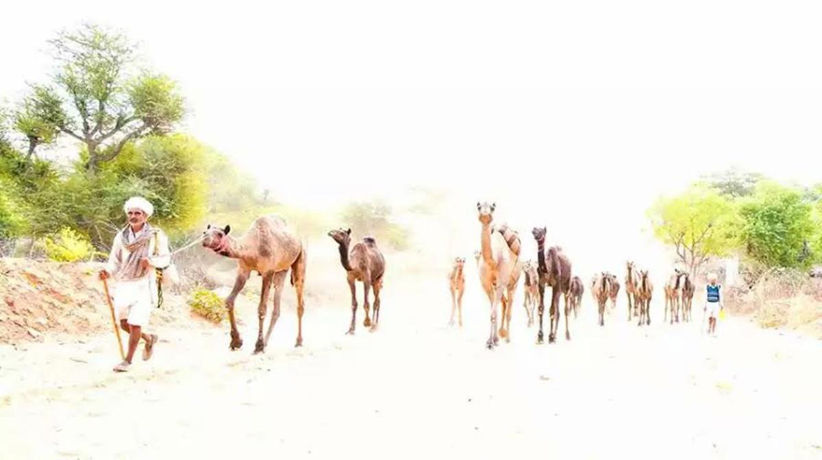Camel Herder in Pushkar Cattle Fair